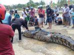 warga-mamuju-tengah-tangkap-buaya-lima-meter-di-sungai-budond-budong-kecamatan-topoyo.jpg