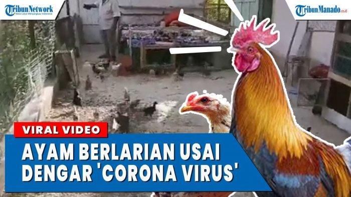 VIDEO Ayam Panik dan Berlarian Masuk Kandang Saat Dengar 'Corona Virus'