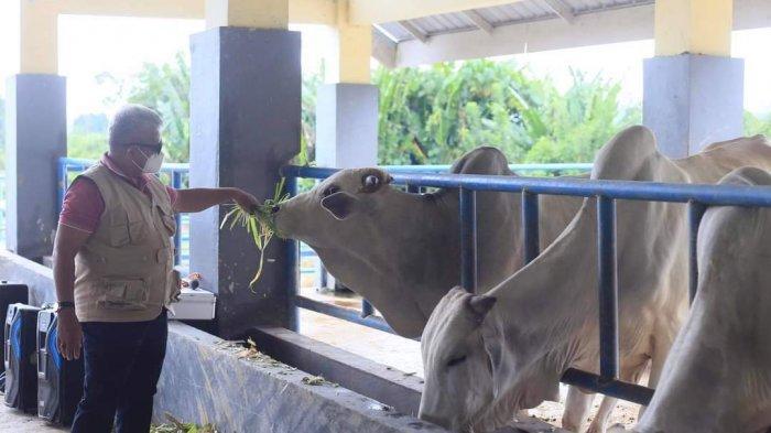 Kembangkan Kerjasama Sektor Peternakan, Wabup Amin Lasena Tinjau Peternakan Sapi