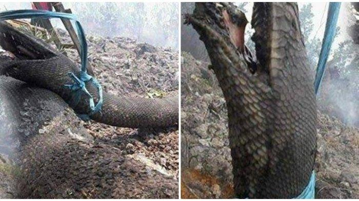 VIRAL FOTO Ular Raksasa Mirip Anakonda Terpanggang, Disebut Mati saat Kebakaran Hutan di Kalimantan