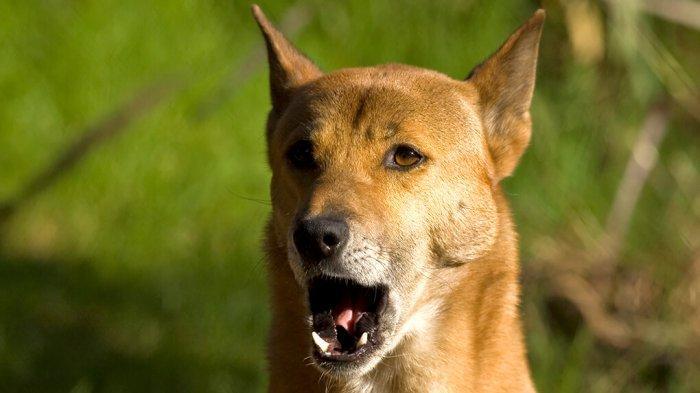 Arti Mimpi Dikejar Anjing, Bisa Jadi Pertanda Sedang Dalam Masalah, Ini Tafsir Lengkapnya