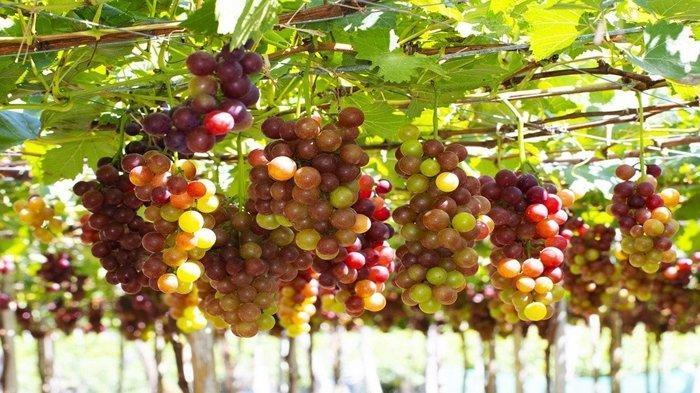 Arti Mimpi Tentang Anggur, Sering Dikaitkan dengan Kebijaksanaan hingga Pengorbanan, Ini Tafsirnya