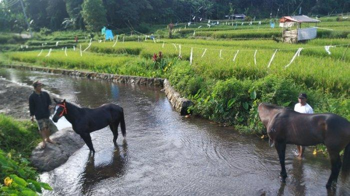 Atraksi Mandi Kuda di Pinabetengan Minahasa, Kolam Jernih dari Mata Air Gunung Soputan