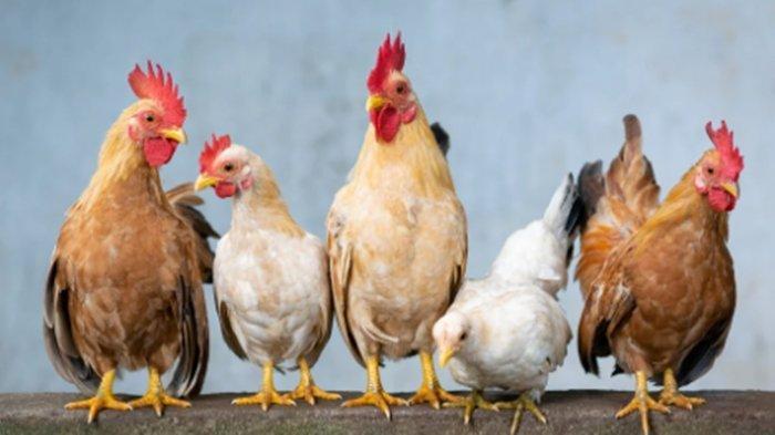 Arti Mimpi Menyembelih Ayam, Ternyata Bisa Jadi Pertanda Buruk, Begini Tafsiran Lengkapnya