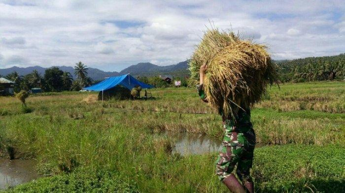 Bentuk Kemanunggalan TNI, Babinsa Bantu Petani Panen Padi di Poigar
