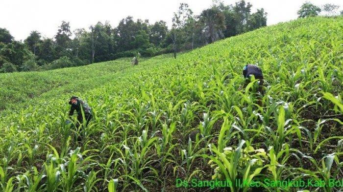 Petani di Sangkub Bolmut Mulai Pupuk Tanaman Jagung,  Serda Yohanis A Pasomba Ikut Bantu