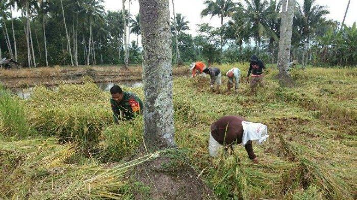 Babinsa Dumagin Bersama Petani Panen 0,5 Hektar Padi