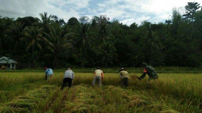 Serda Sahril Panen Padi Bareng Petani Tolotoyon di Sawah Berlumpur