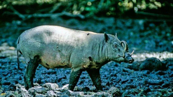 Mice Makatengkeng dari SPORC BPPHLHK Sulawesi: Babi Rusa Jangan Punah