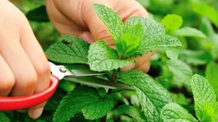Foto Daun Mint. Bahaya daun mint bagi tubuh.