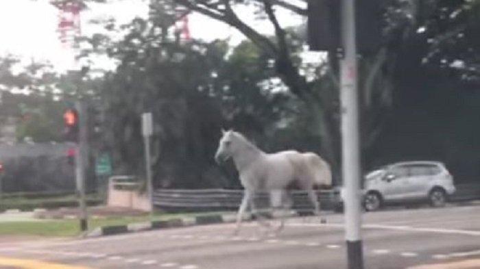 Beredar Video Kuda Putih BerototBerkeliaran di Jalan Raya Singapura,Suara Kendaraan Buatnya Kabur