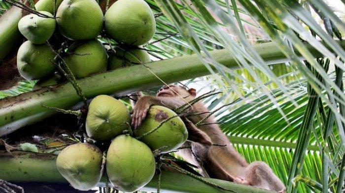Beruk-Beruk pun Ikut Lomba di Sumatera Barat