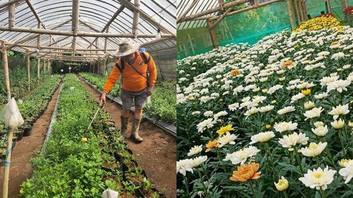 Bunga Asal Tomohon Kembali Laris Manis Hingga Sulawesi Tengah dan Maluku Utara
