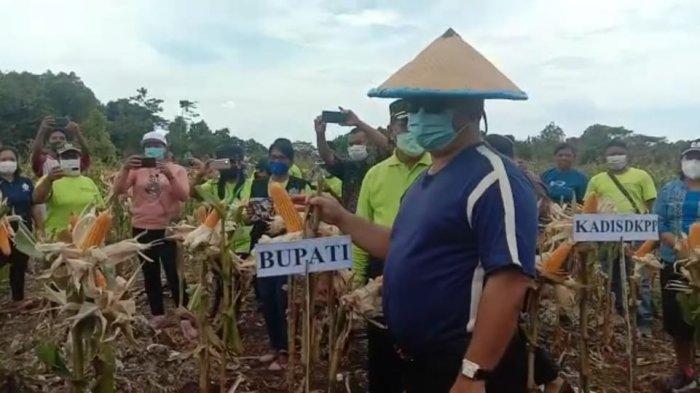 Bupati Talaud Takjub Warga Bisa Tanam Jagung dan Kacang di Lahan Berbatu dan Karang