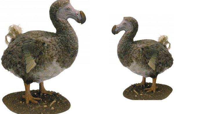 Menginspirasi Alice In Wonderland Burung Dodo Simpan Kisah Tragis Halaman All Tribun Manado