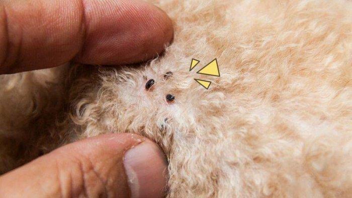 Cara Ampuh Membasmi Kutu yang Infeksi Anjing Peliharaan