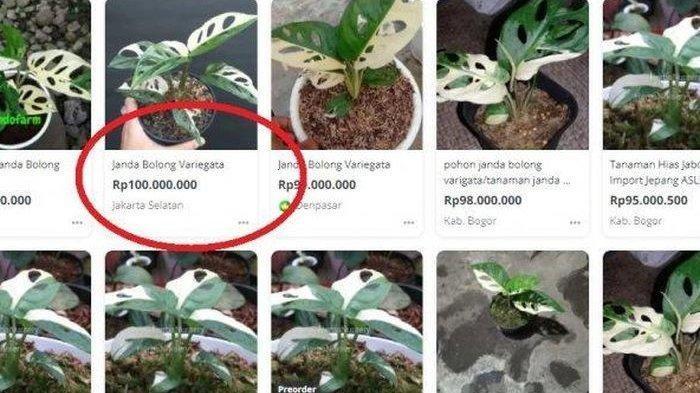 Ingat Tanaman Janda Bolong Dulu Hanya Tanaman Liar Kini Harganya Sentuh Rp 100 Juta Per Pohon Halaman All Tribun Manado