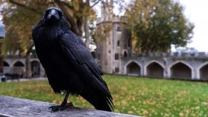 Arti Mimpi Burung Gagak, Bisa Jadi Pertanda Baik dan Buruk, Simak Tafsir Lengkapnya
