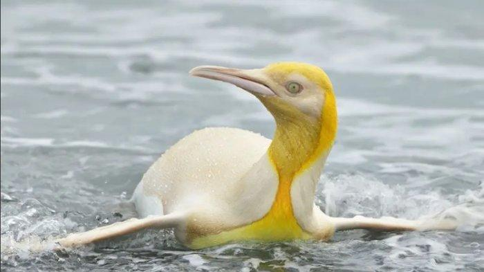Foto Langka, Seekor Penguin Warna Kuning Terlihat Pertama Kali di Atlantik Selatan
