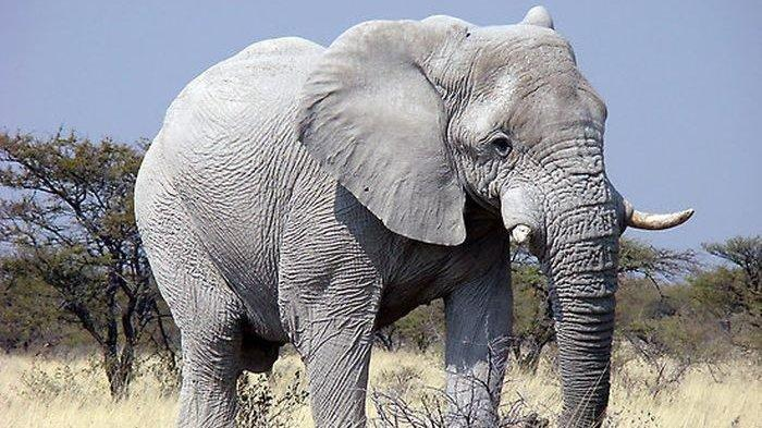 Mengapa Gajah Jadi Simbol Negara dan Hewan Nasional Thailand? Ini Penjelasannya