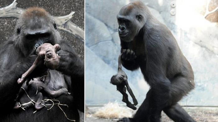 Mengharukan! Ibu Gorila tak Rela Anaknya Meninggal