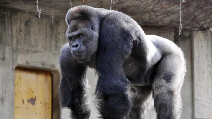 Pengunjung Kebun Binatang Meningkat Gara-gara Gorila Tampan Ini