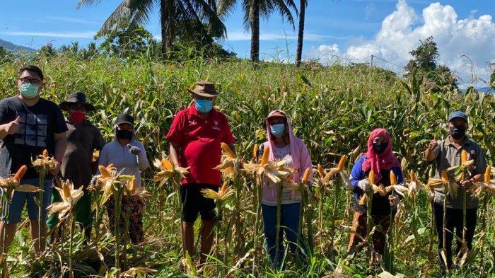 Gubernur Sulut, Olly Dondokambey dan putra sulungnya Rio Dondokambey panen jagung di Perkebunan Kolongan, Minahasa Utara, Senin (2/8/2021) pagi.