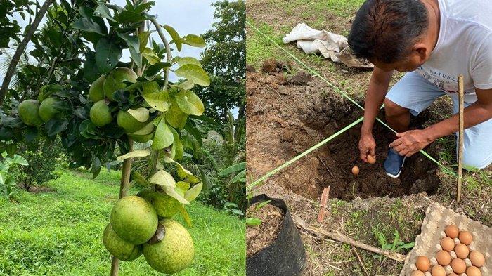Gubernur Sulut, Olly Dondokambey menanam jeruk bali kediamannya Desa Kolongan, Kabupaten Minahasa Utara, Provinsi Sulut.