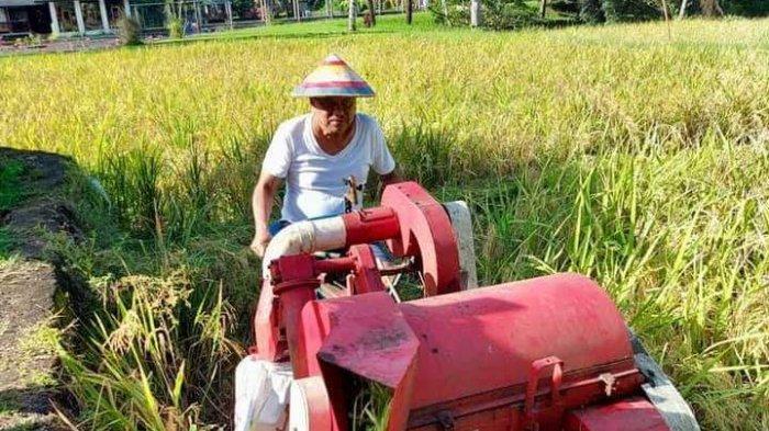 Gubernur Sulawesi Utara Olly Dondokambey memanen padi hibrida di lahan sawah kediamannya Kompleks Cempaka, Desa Kolongan