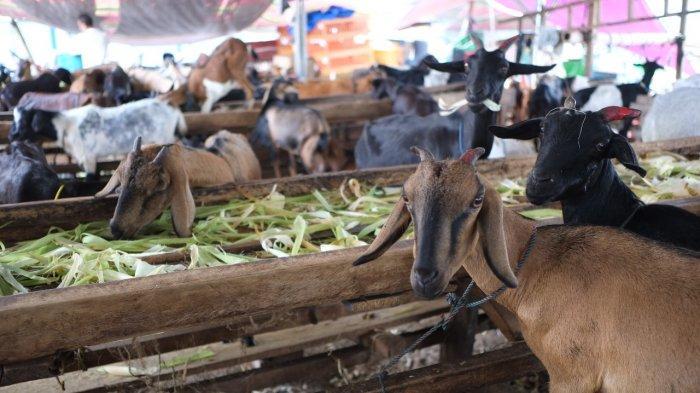 Pedagang memberi makan kambing yang dijual untuk kurban di salah satu Depot Kurban di Pasar Bersehati Manado, Sulawesi Utara, Rabu (14/7/2021). Penjualan hewan kurban yang dijual secara daring dan luring dengan kisaran harga dua juta rupiah hingga puluhan juta tersebut mulai mengalami peningkatan jelang pelaksanaan hari raya Idul Adha 1442 Hijriah pada 20 juli mendatang.