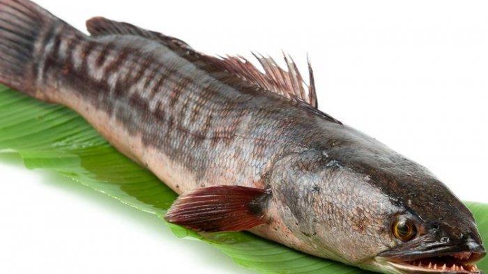 Ikan Gabus Diklaim Bisa Menyembuhkan Pasien Virus Corona, Ini Manfaat yang Tidak Terduga