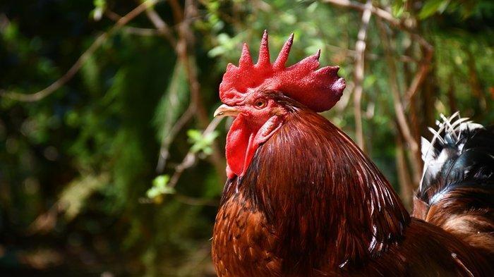 Arti Mimpi Ayam, Bisa Jadi Pertanda Baik, Begini Tafsirannya