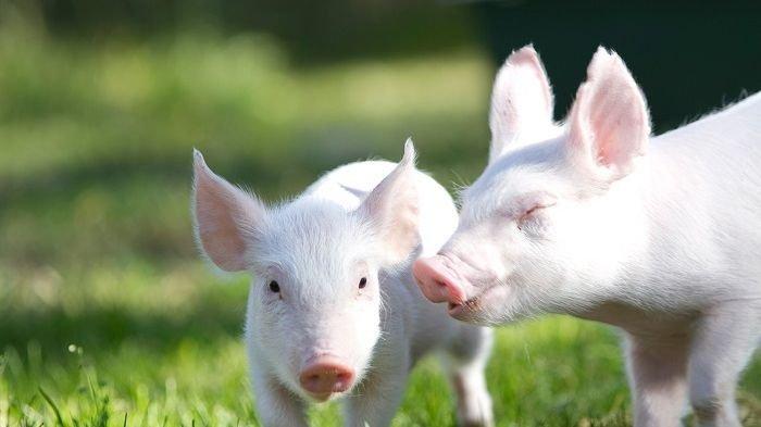 Ditemukan Flu Babi Jenis Baru, Peneliti Yakini Peluang Adanya Pandemi Baru