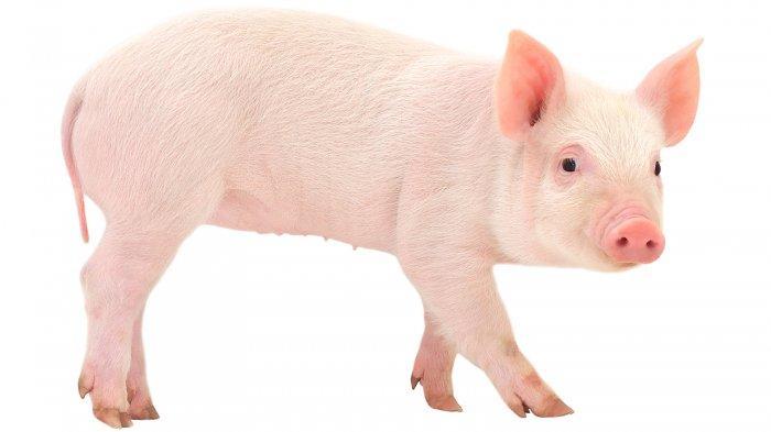Ketika Gede Lihat Tetangga Pakai Daster Saat Beri Makan Babi, Beruntung Ada Suaminya