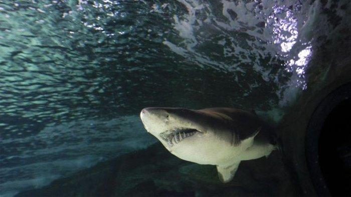 Seekor hiu harimau pasir berenang di dalam tangki Akuarium Kebun Binatang Madrid. Tercatat hanya ada 29 catatan gigitan harimau pasir yang tidak beralasan pada manusia dan tidak ada yang berakhir sekarat.