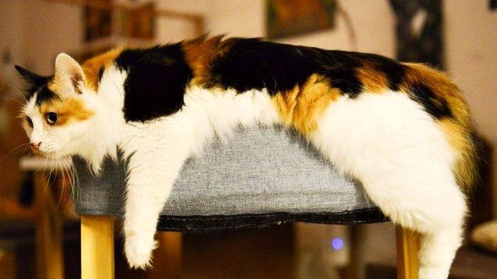 Kenapa Kucing Jantan 3 Warna Sangat Jarang Ditemukan Mitosnya Mendunia Begini Penjelasan Ahli Tribun Manado