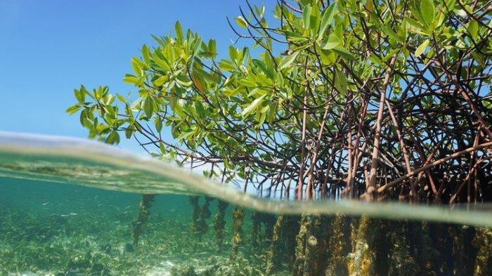 Peran Strategis Mangrove
