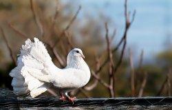 8 Arti Mimpi Burung Merpati, Pertanda Baik Atau Buruk? Ini Tafsirannya