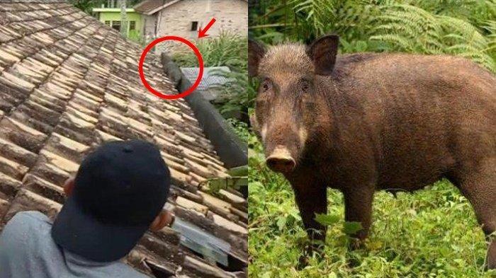 2 Ekor Babi Hutan Tiba-tiba Muncul di Atap Rumah, Warga Heboh, Menduga Hewan Jelmaan 'Babi Ngepet'