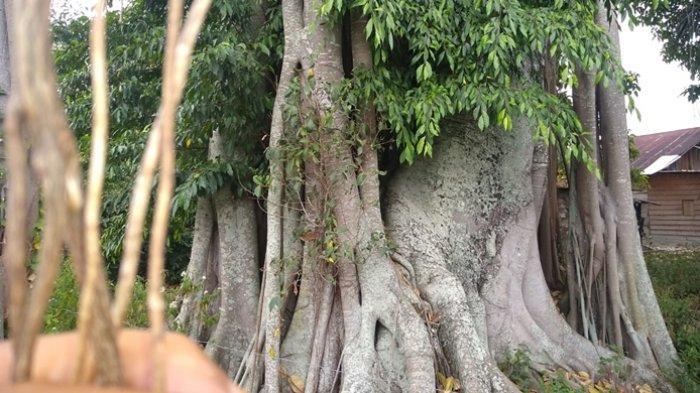 Ilustrasi <a href='https://manado.tribunnews.com/tag/pohon' title='pohon'>pohon</a> <a href='https://manado.tribunnews.com/tag/jabi-jabi' title='Jabi-jabi'>Jabi-jabi</a>.