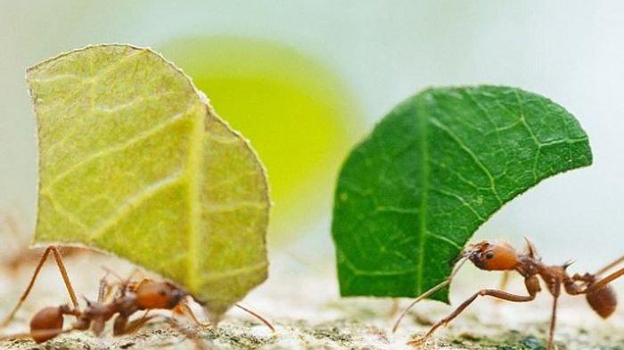 Bukti Baru, Semut Berkomunikasi Lewat Aroma yang Tak Diproduksi Tubuh