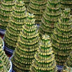 Ilustrasi tanaman hias bambu rejeki atau lucky bamboo. (PIXABAY/PUBLIC DOMAIN PICTURES)