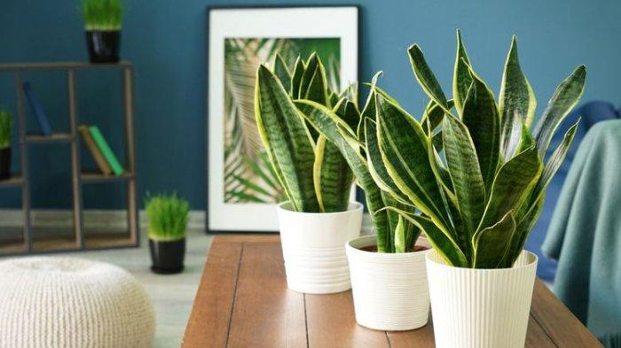 FOTO - Ilustrasi tanaman lidah mertua di dalam ruangan.
