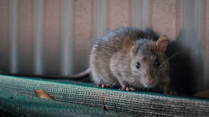 Arti Mimpi Tikus Menurut Primbon Jawa, Simak Berikut Tafsiran Lengkapnya
