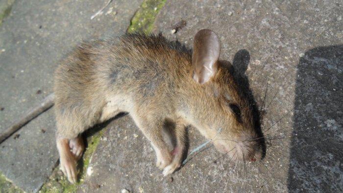 Saat Kantong Plastik Dibuka, Ayah Teriak Histeris Tertulis Jasad Nama Anaknya, Padahal Bangkai Tikus