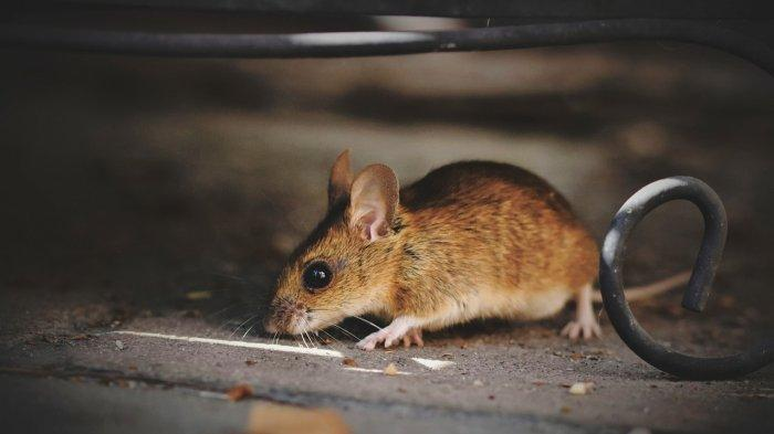 Tak Banyak yang Tahu, Daun Mint Ternyata Ampuh untuk Mengusir Tikus, Ini Caranya