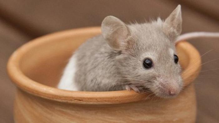 CARA Ampuh Membersihkan Rumah dari Tikus Tanpa Jebakan