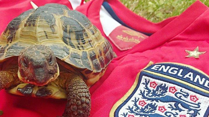 Kroasia Vs Inggris, Ini yang Akan Menang Versi Ramalam Roger Si Kura-kura