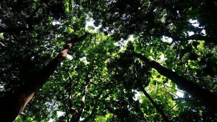 view of the forest from the ground looking up to the boughs of the trees and the sky