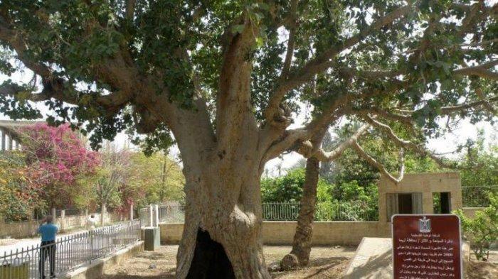 Pohon Ara